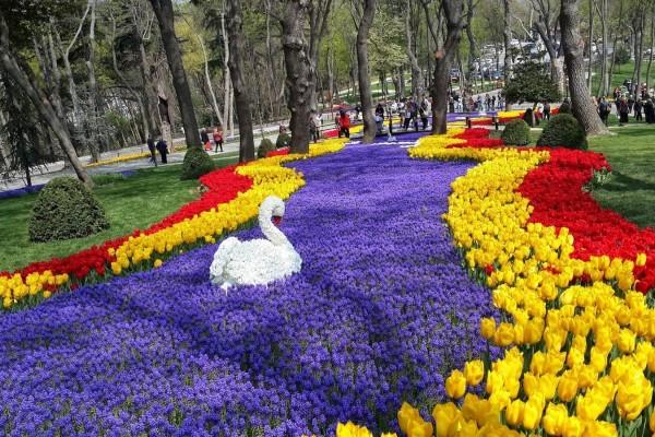 Tulip turky